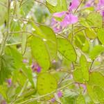 lunaria-flower
