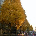 プラチナ通りの黄葉が見ごろです。
